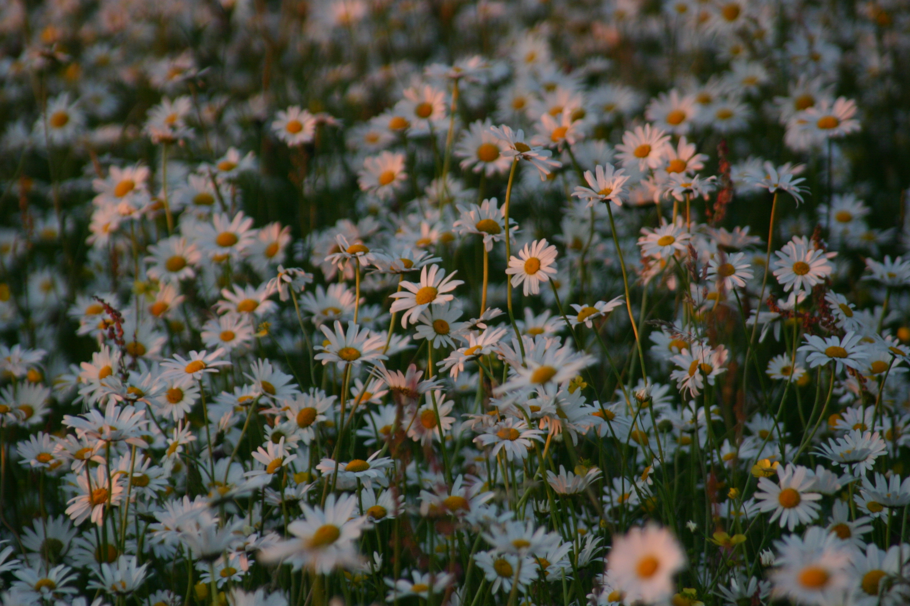 Green Books - Resources on web - Creating a Wildflower Meadow - extra photos - daisies+sunset-3.jpg