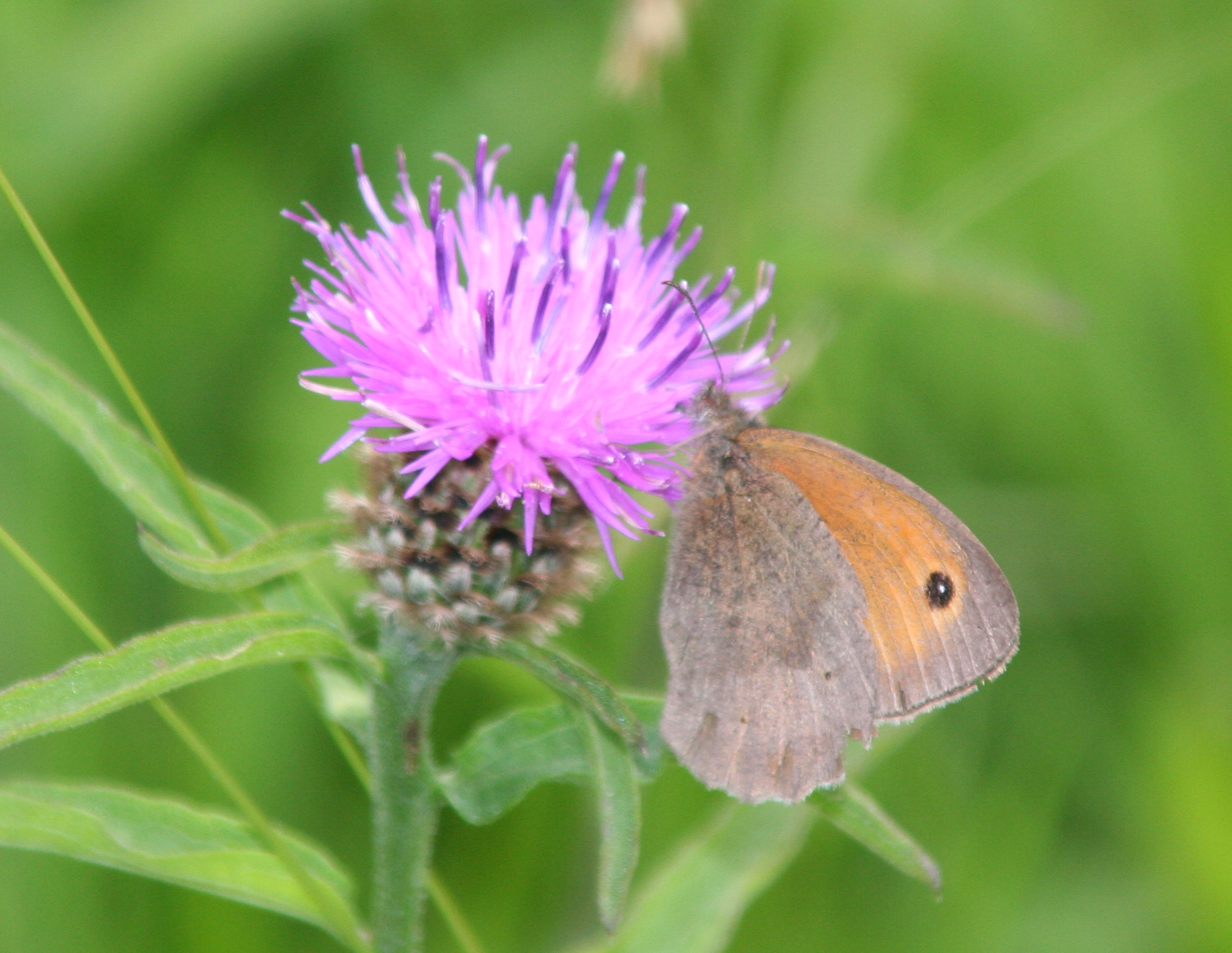 Green Books - Resources on web - Creating a Wildflower Meadow - extra photos - meadow-brown-butterfly