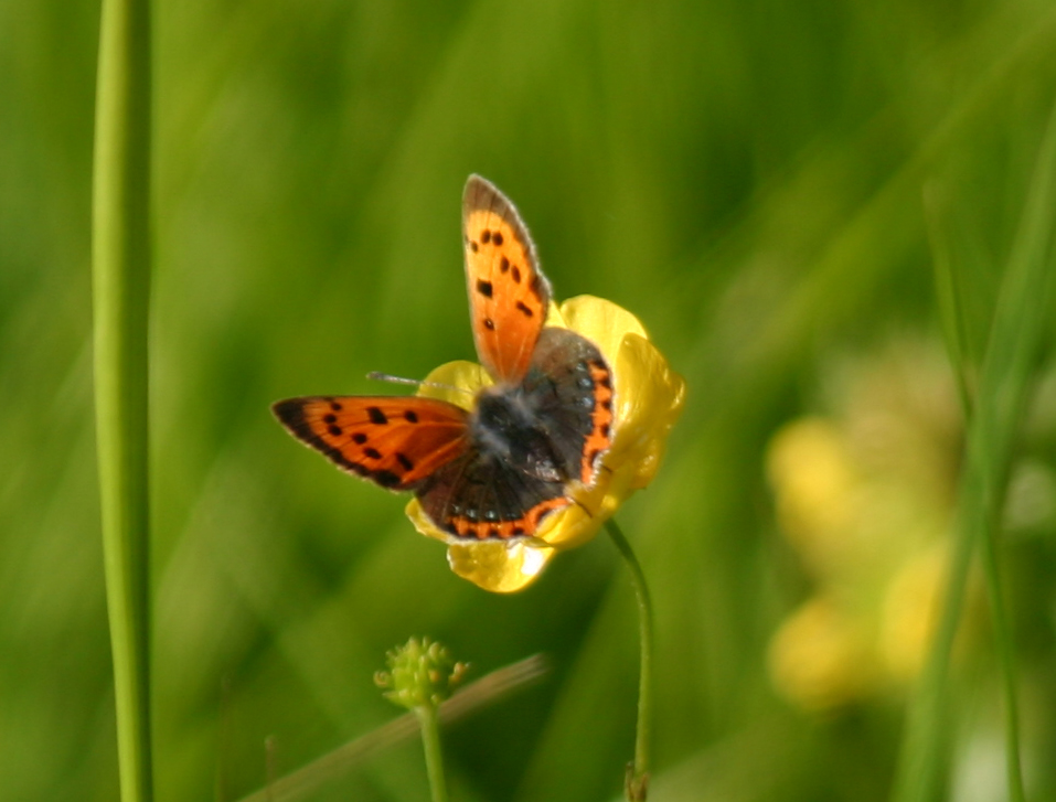 Green Books - Resources on web - Creating a Wildflower Meadow - extra photos - small-copper-butterfly